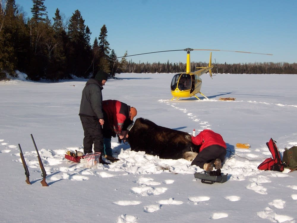 Collaring a moose