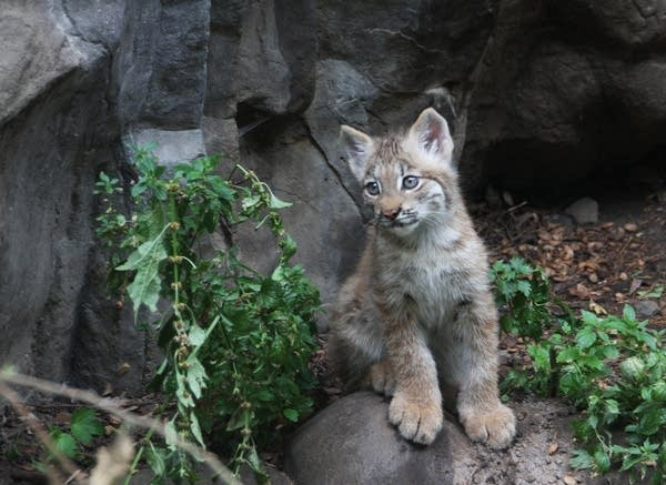 A male Canada lynx kitten is seen at the Minnesota Zoo in August 2012.