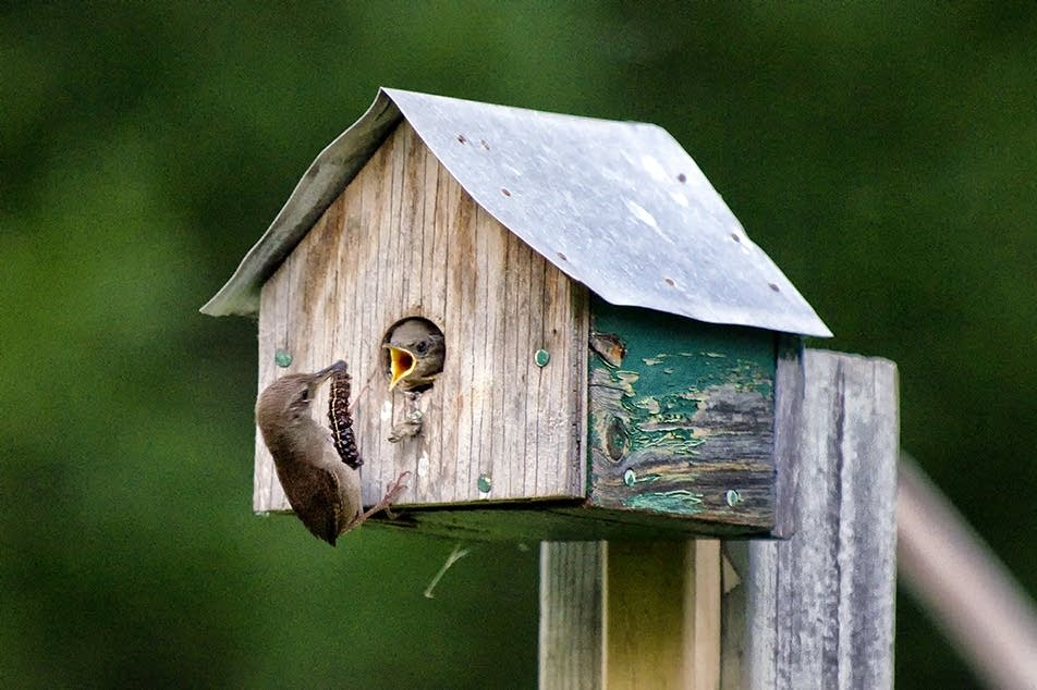 House wren brings a caterpillar to the nest.