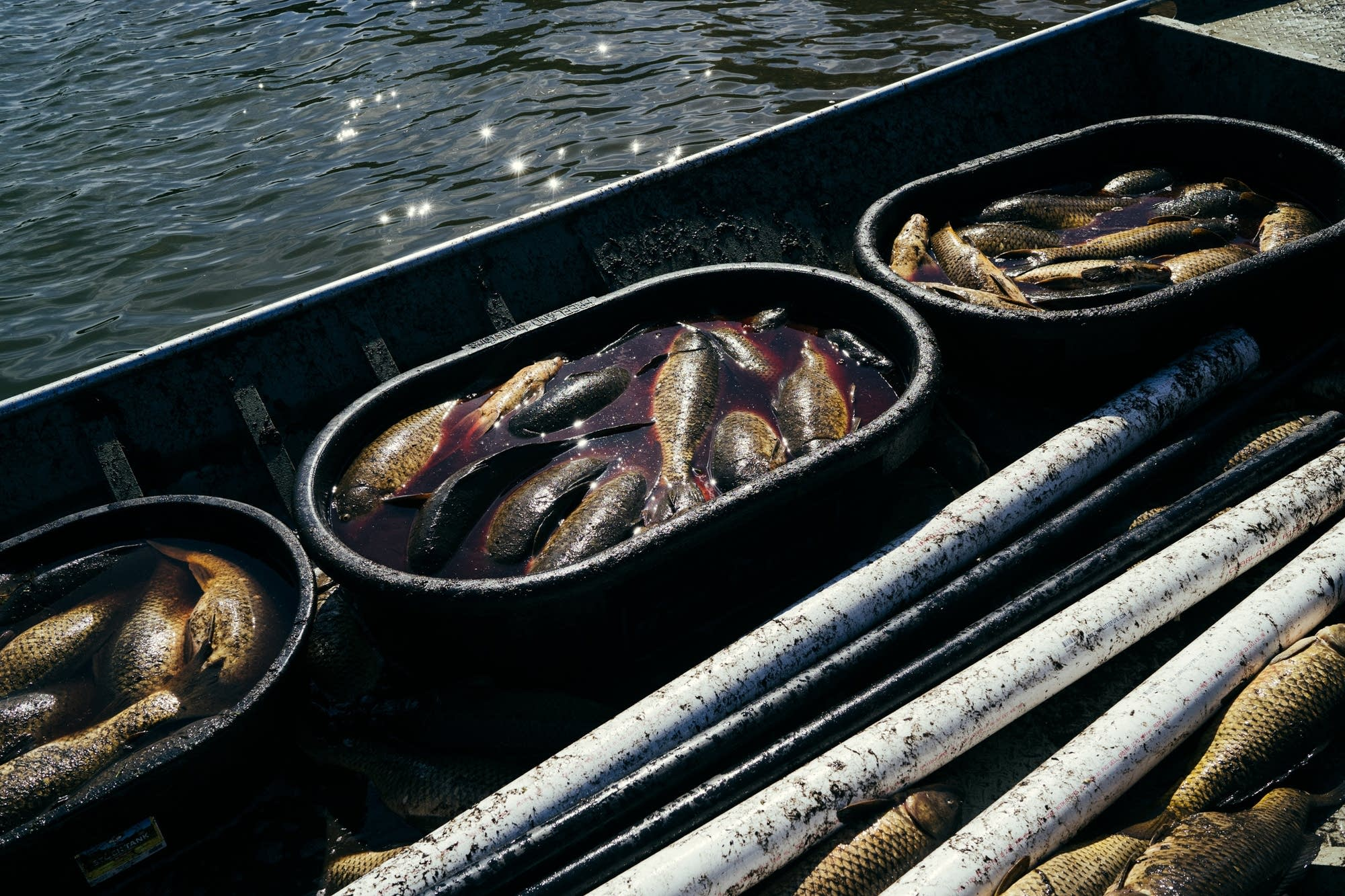 Tubs of common carp sit in a boat
