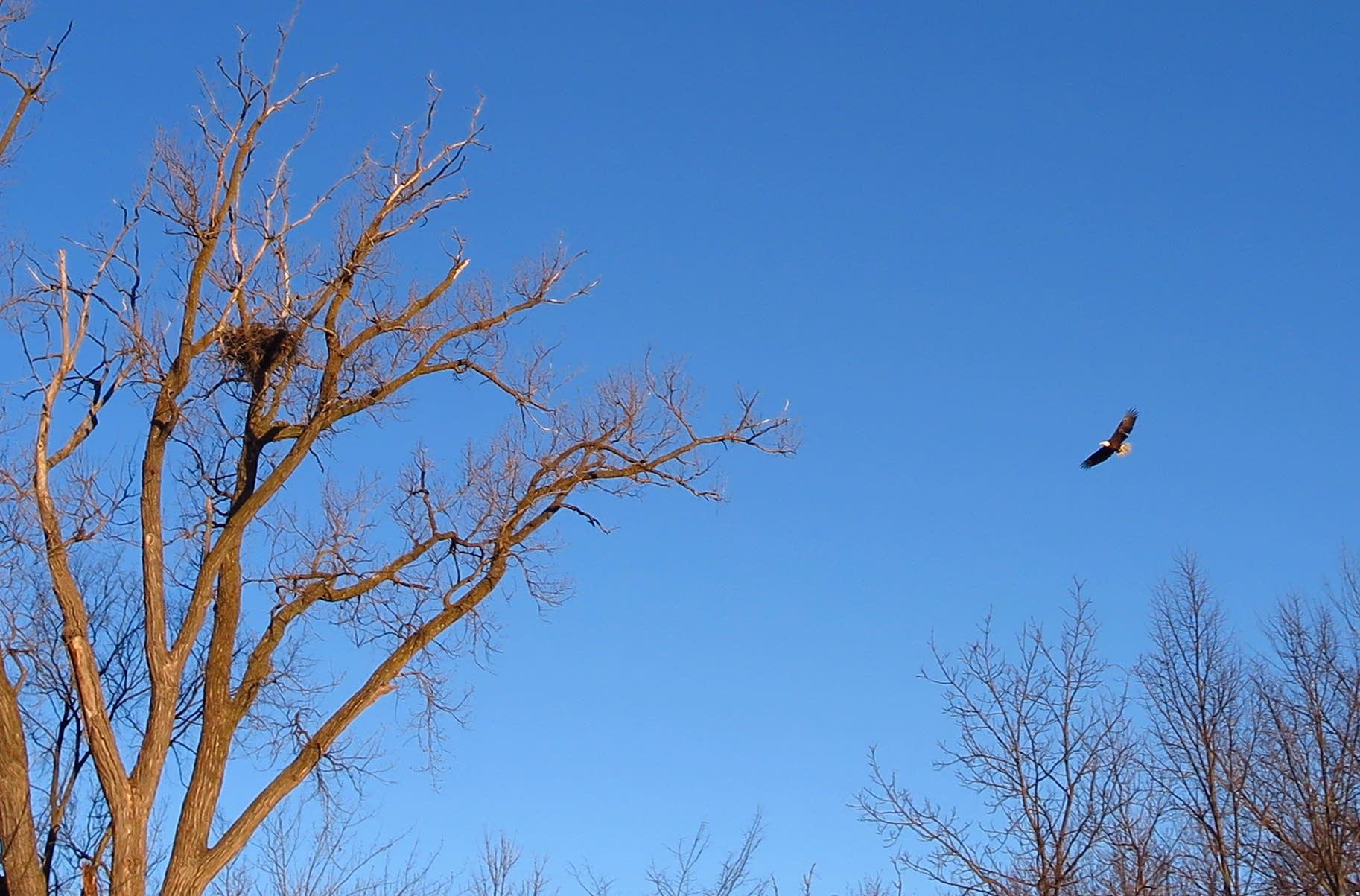 An eagle circles the nest.