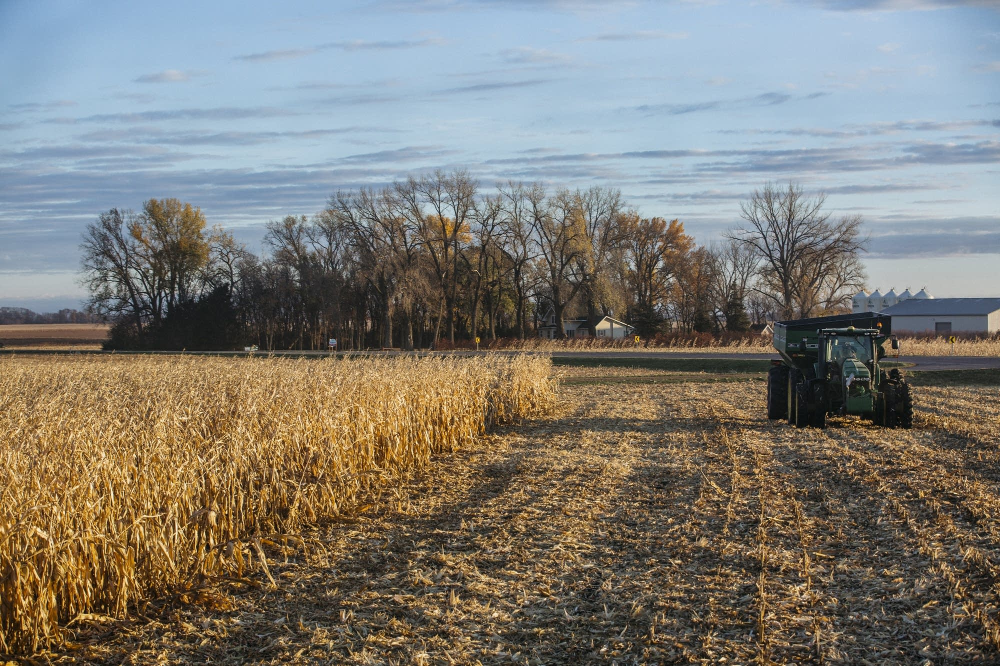 A tractor drives through a corn field.