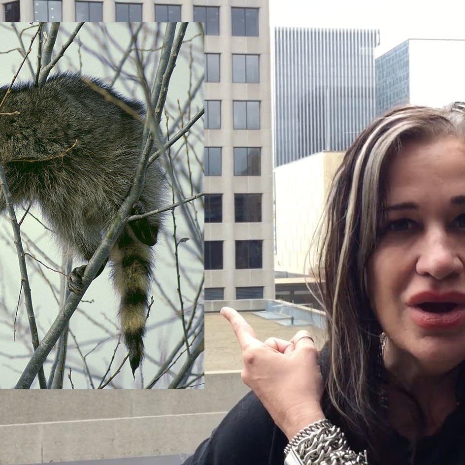 Listen to Looch: the MPR raccoon