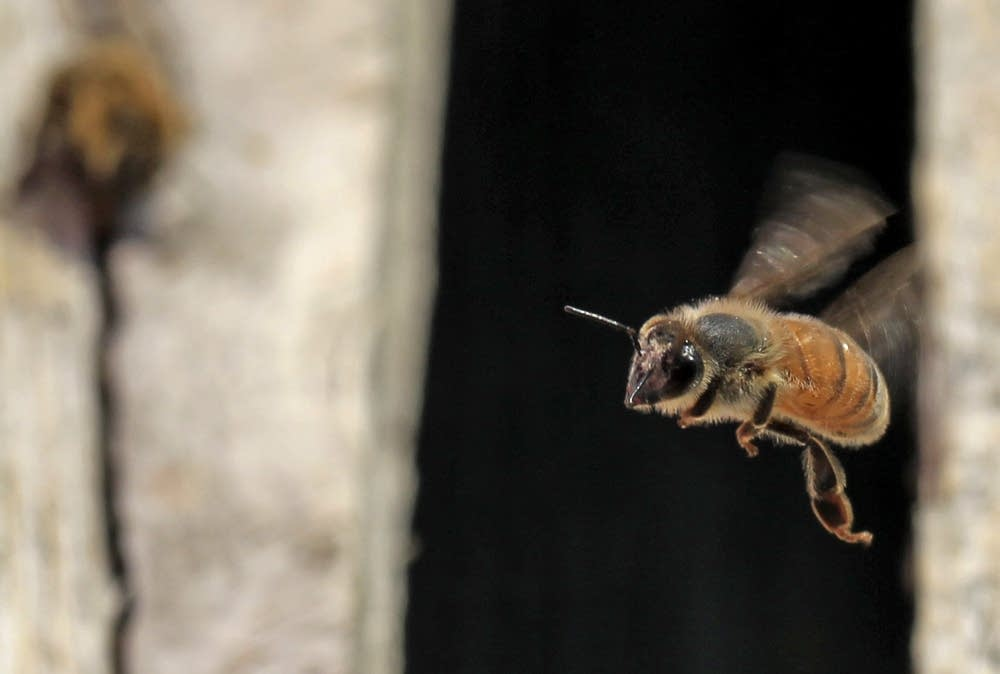 Bee in flight on the Hirshfield's, Inc. roof