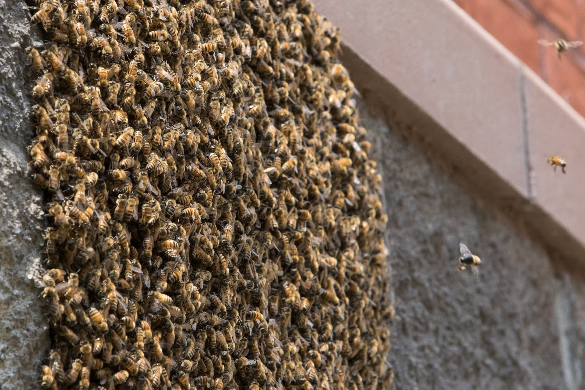 Honey bees pile on a wall around the queen bee.