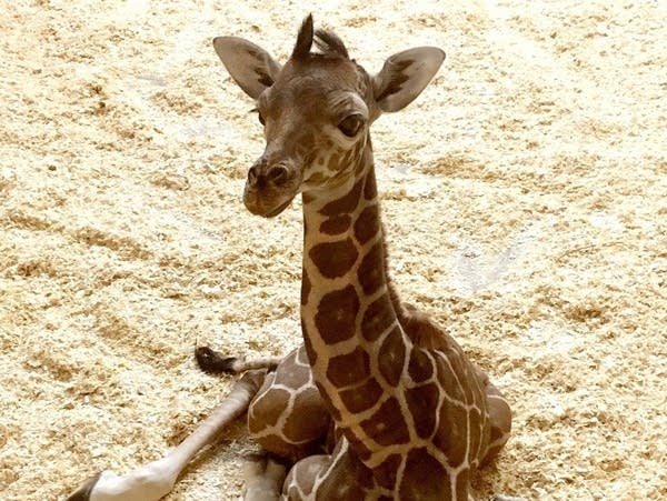 The currently unnamed baby giraffe
