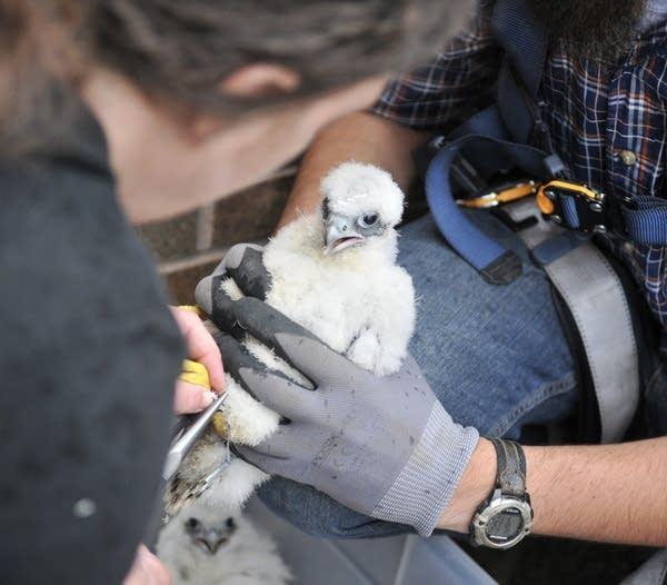 Baby peregrine falcon