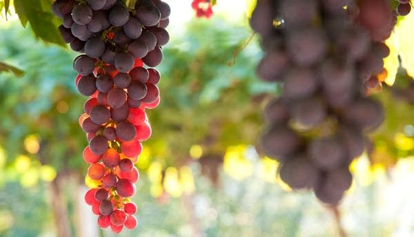 Corvina grapes on the vine in Valpolicella (Photo: Michele_Righetti/Thinkstock)