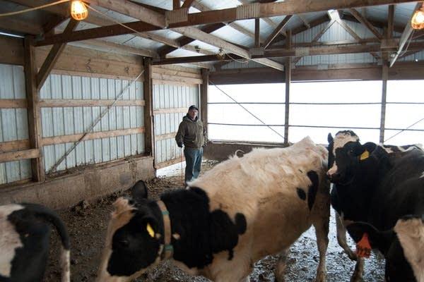Steve Hoffman tended to his dairy cows.