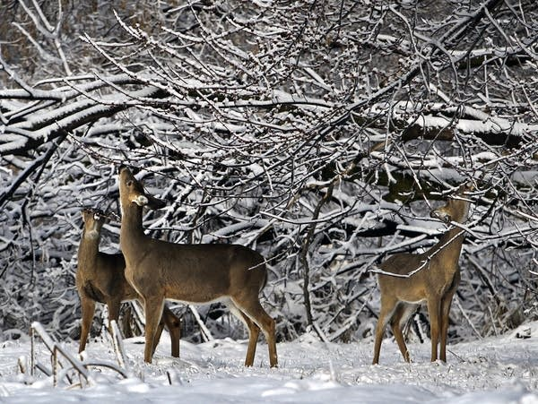 Whitetail deer browse on tree buds in the Wood Lake Nature Center.