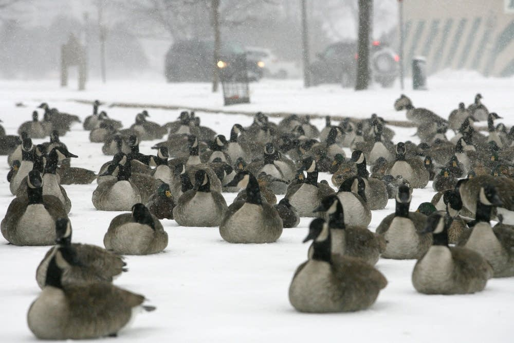 Canada geese in Rochester