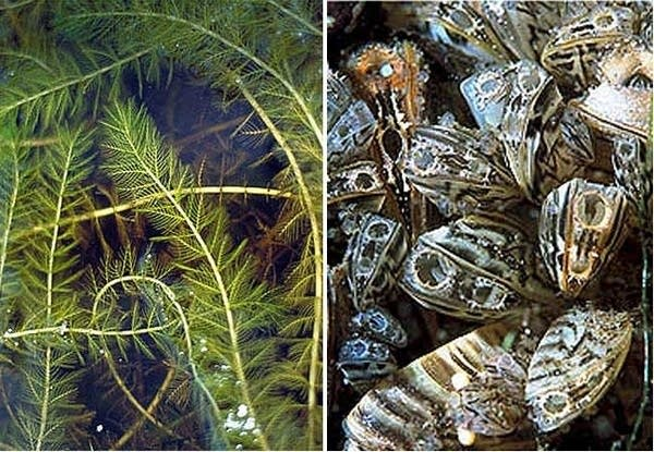Eurasian water milfoil, zebra mussels