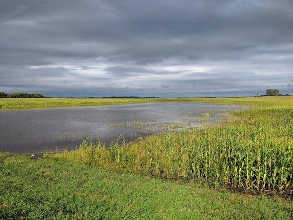 Water in cornfield near Stewart, Minnesota