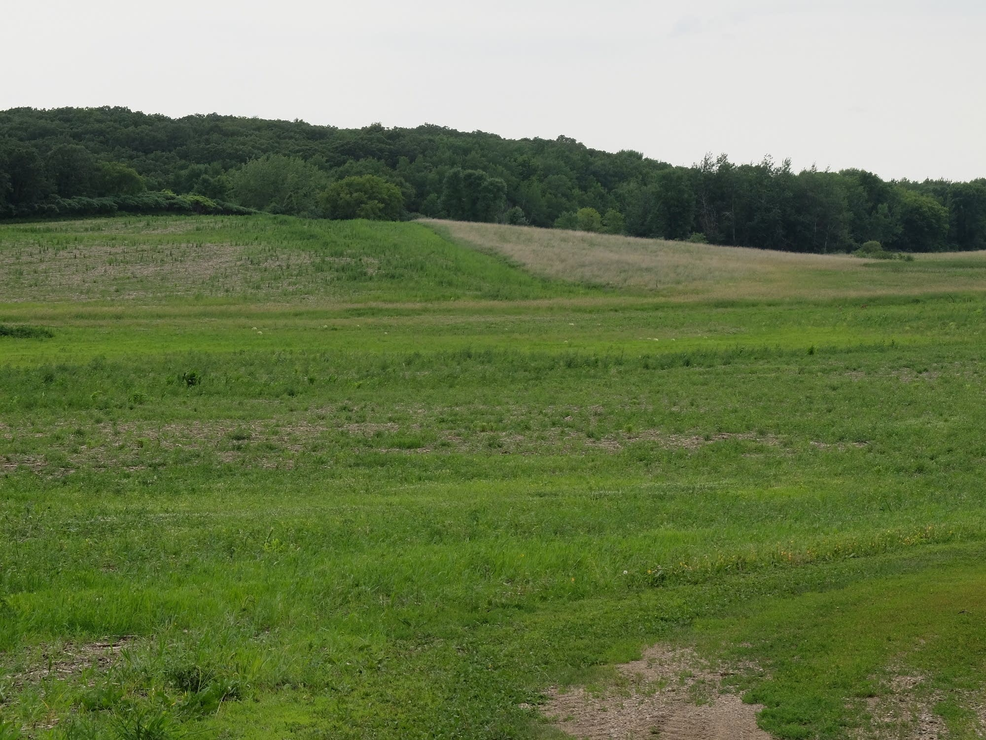 The lower part of this field in Otter Tail county was once a wetland.