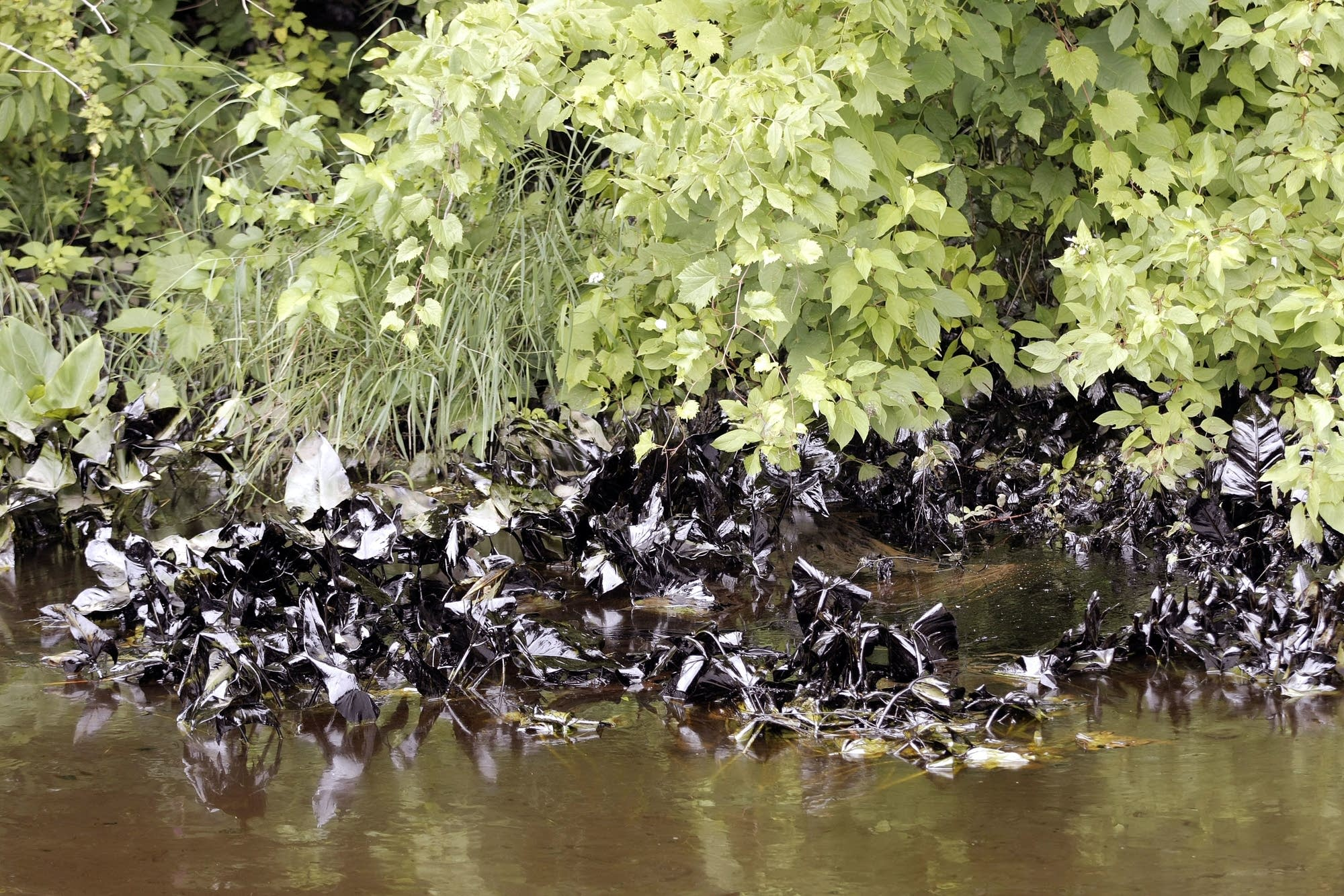 Oil clings to plants in the Kalamazoo River after an oil spill.