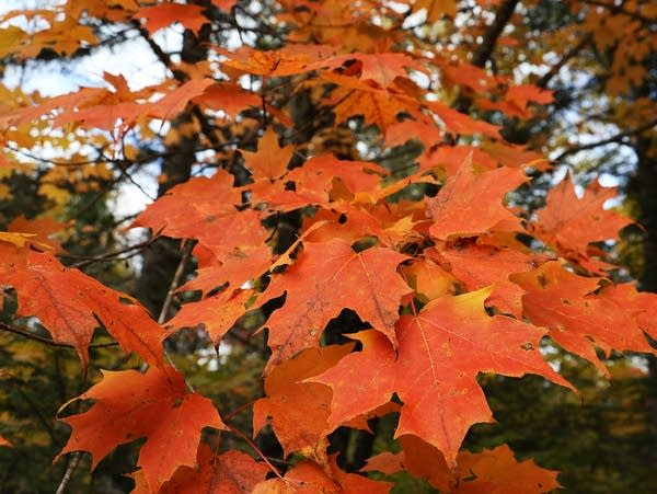 Brightly colored maple leaves are seen along a forest road near Tofte