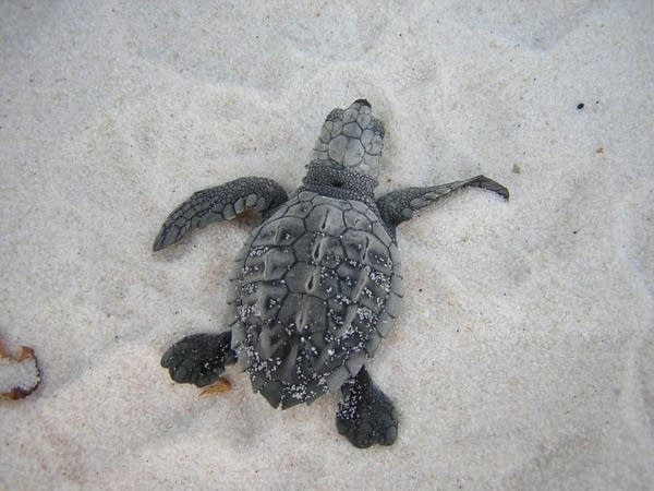 Baby Kemp's Ridley sea turtle at Gulf Islands National Seashore.