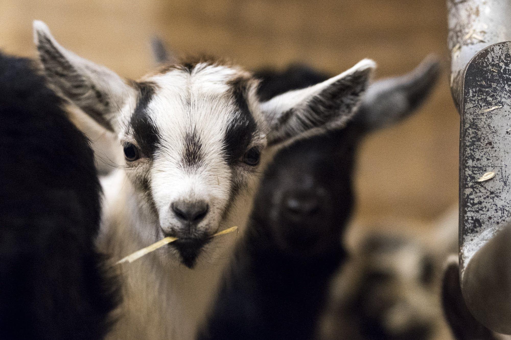 A goat kid chews straw.
