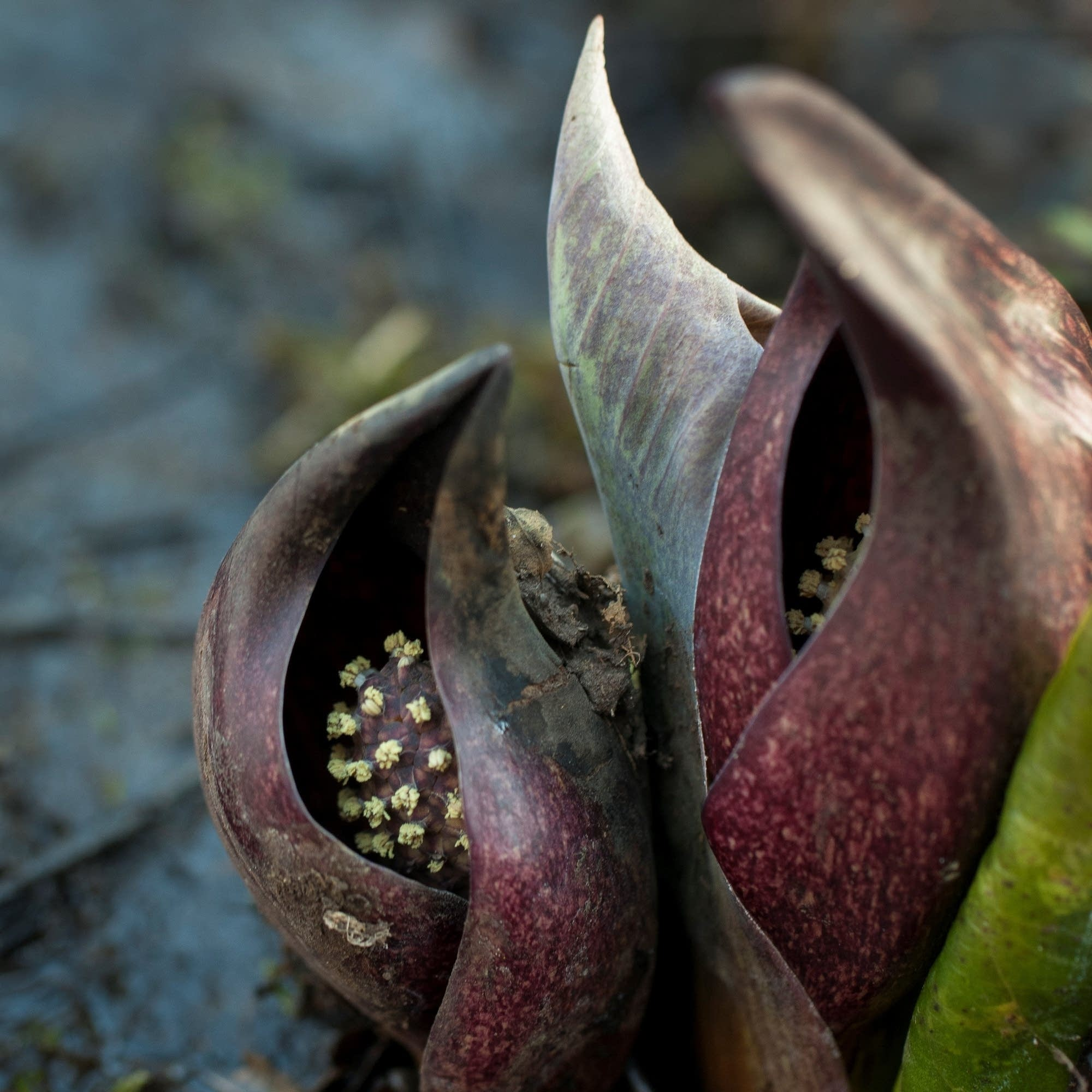 A skunk cabbage found along Minnehaha Creek.