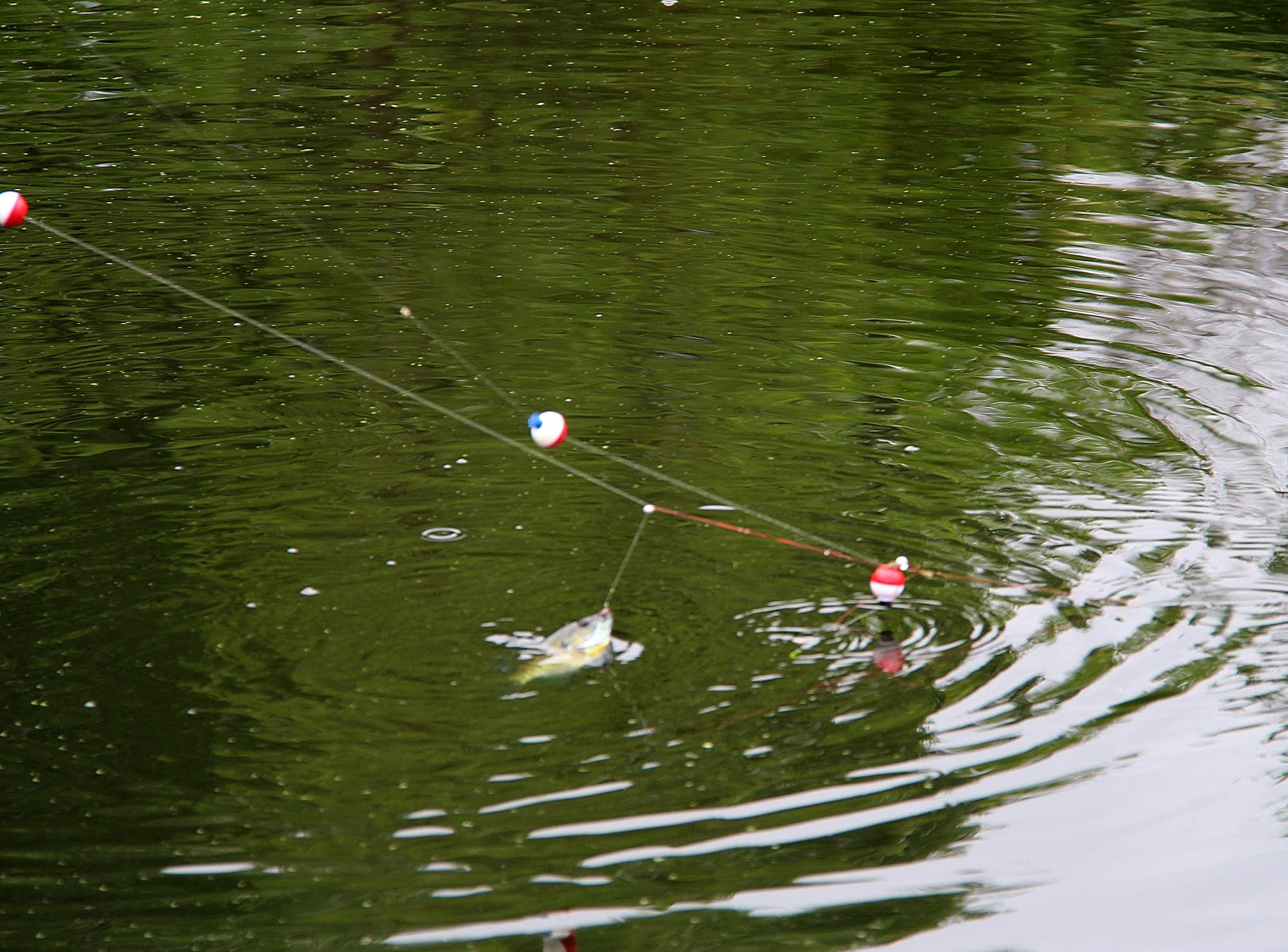 A freshly caught fish can be seen just above the surface.