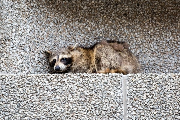 A raccoon sits on a ledge on the Town Square building.