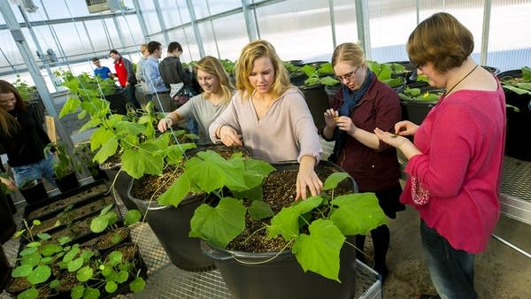 Students check over their cucumber plants during class.