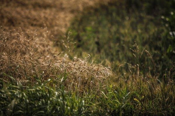 Wheat grows in a field near Gaylord, Minn., this fall.