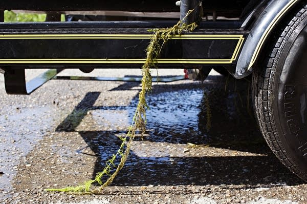 Weeds hang from a boat trailer at the east public access of Pelican Lake.