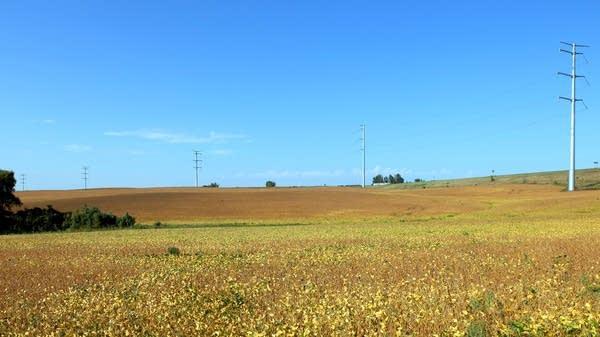 Soybeans outside Fergus Falls, Minn.