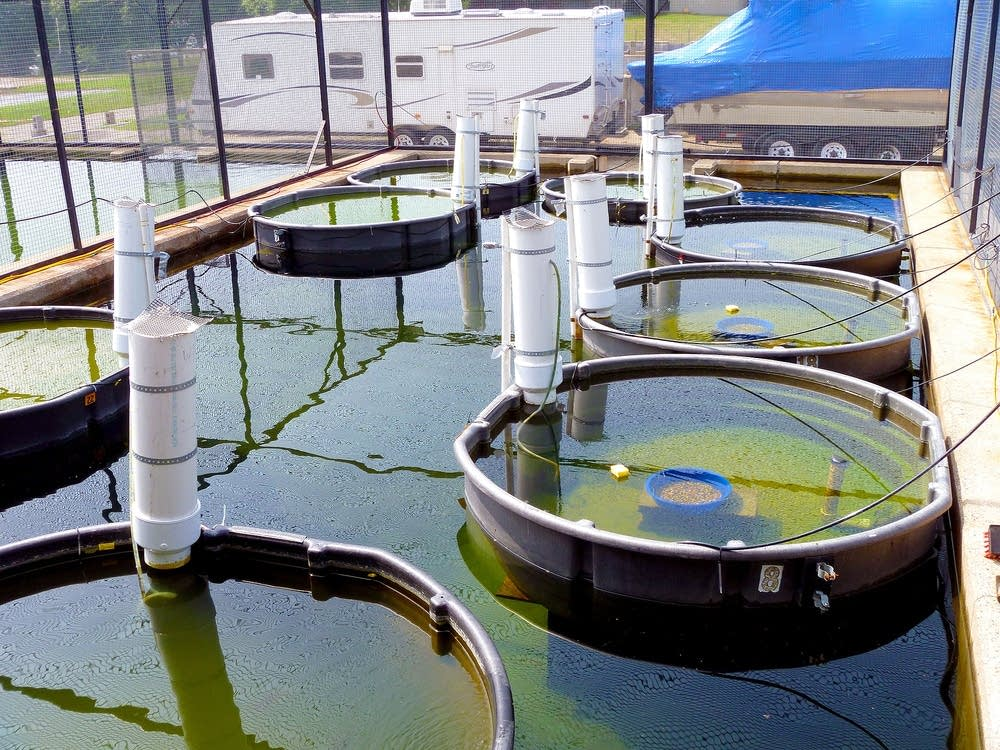 New study shows chemicals can reduce fish survival for Fish pond chemicals