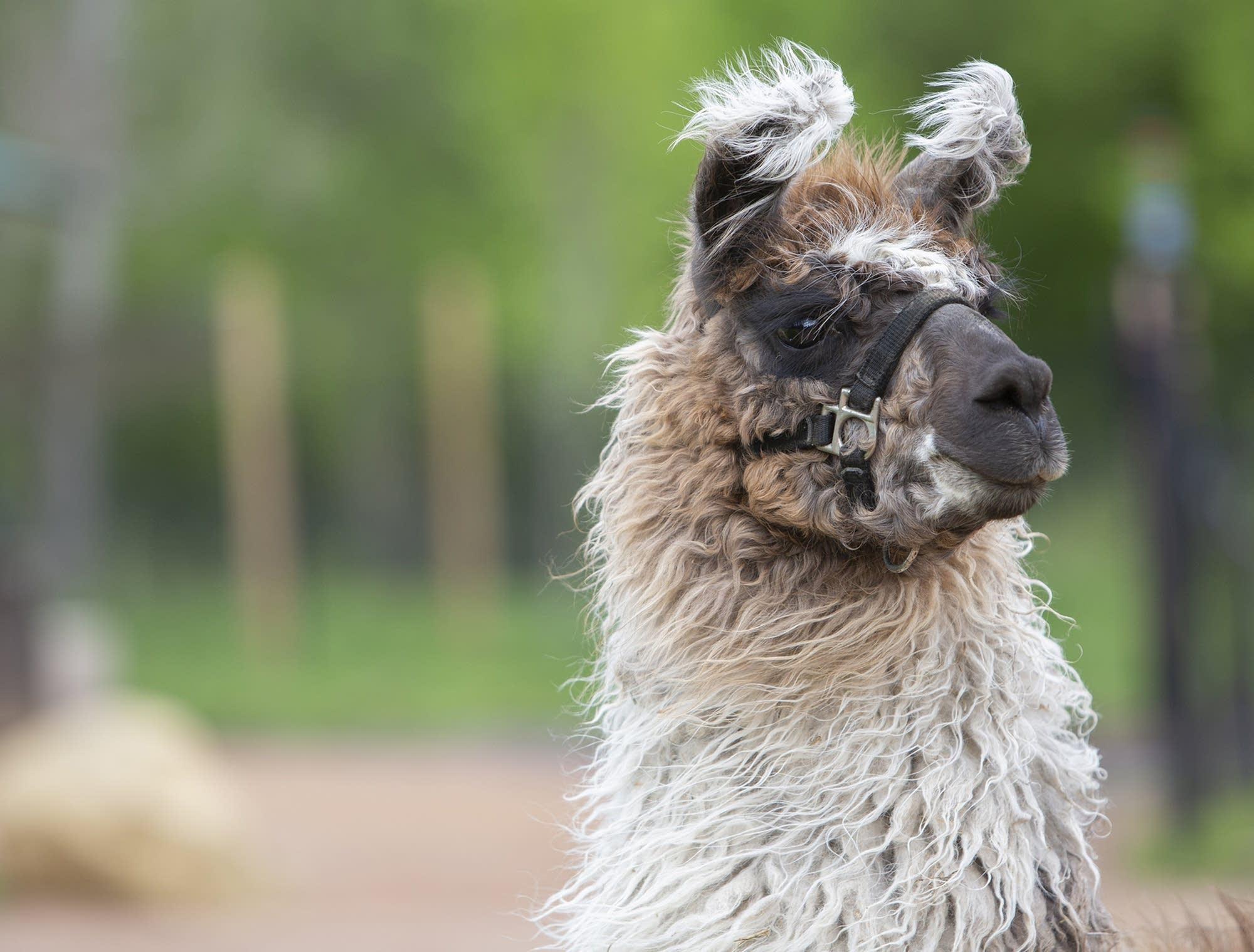 The 20 llamas are on loan from Carlson's Loveable Llamas in Waconia.