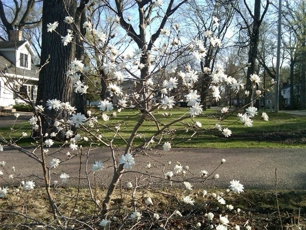 Star magnolia in bloom March 2012