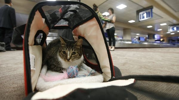 A cat sits in a carry on travel bag.