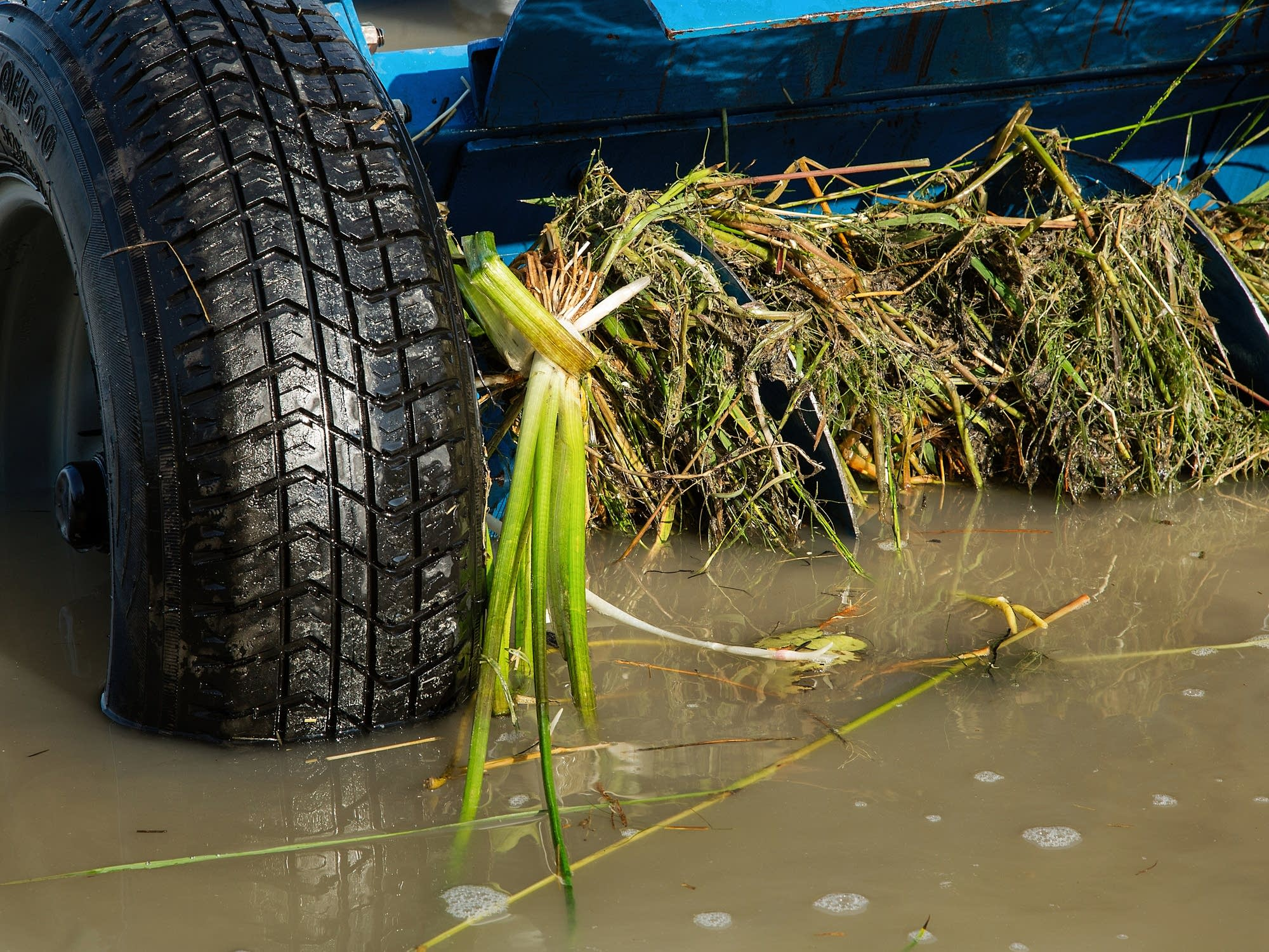 An auger clogged with starry stonewort