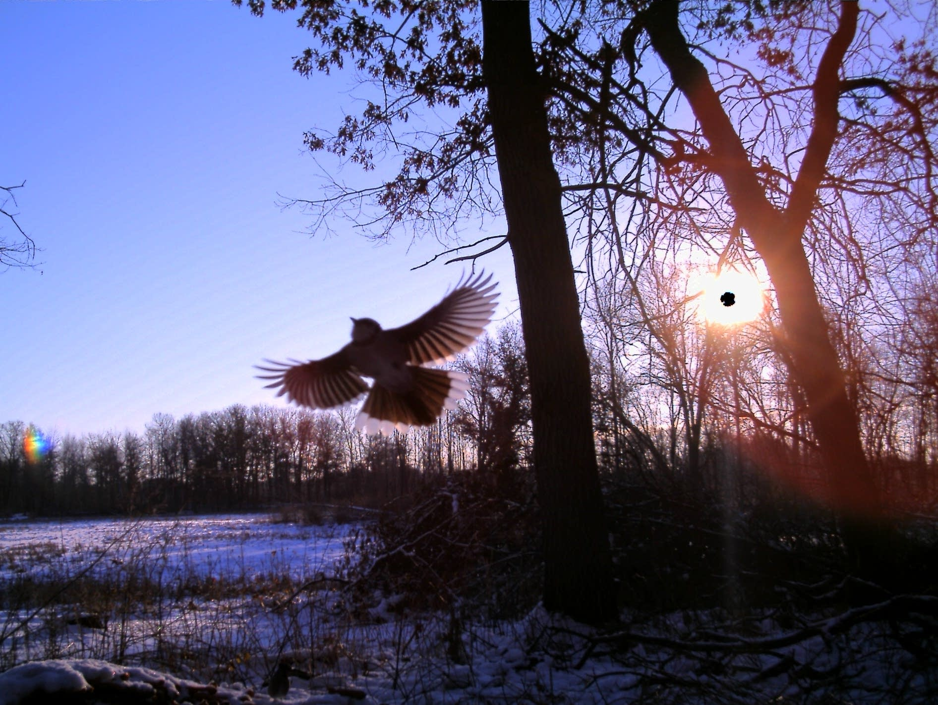 An image of a bird captured by a trail camera at  Cedar Creek  Reserve
