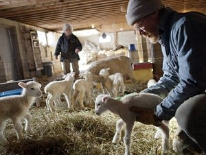 Spring means lambing season in Minnesota