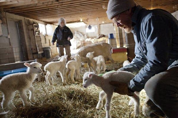 Spring means lambing season in Minnesota