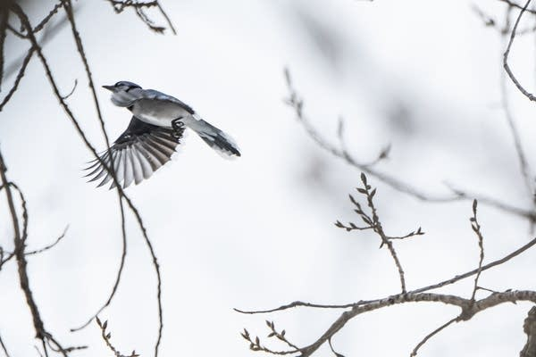 A blue jay flies from a tree.