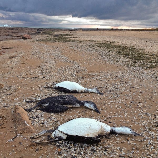 Dead loons