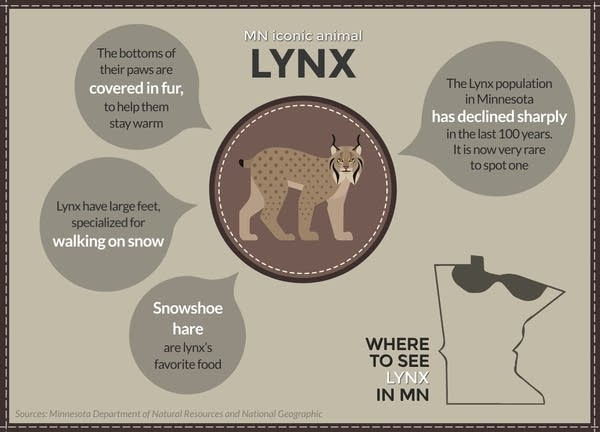 The Canada lynx is a rare wildcat in Minnesota.