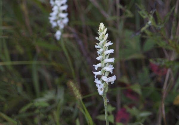 Ladies'-tresses orchid
