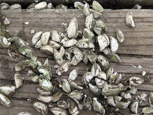 Zebra mussel shells covered a dock