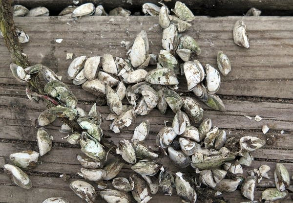 Zebra mussel shells covered a dock on Lake Mille Lacs.
