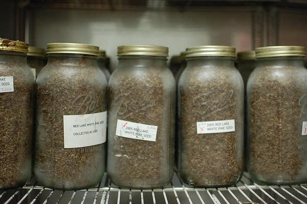 Millions of indigenous tree seeds