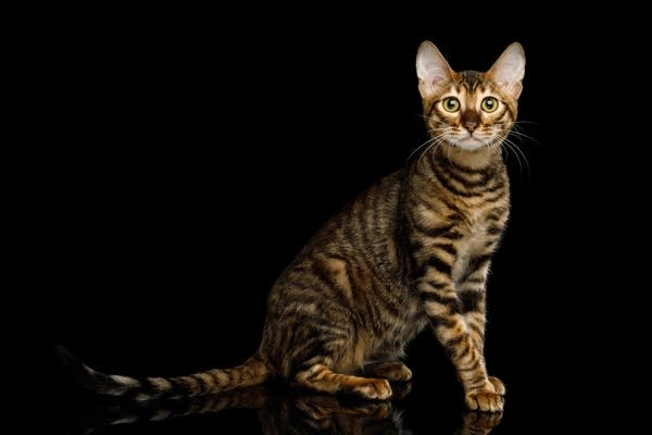 A Toyger Cat on a black background (Getty Image)