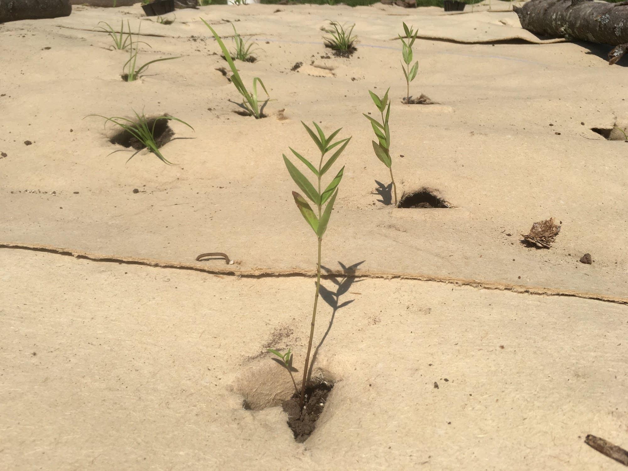 A tiny milkweed plant