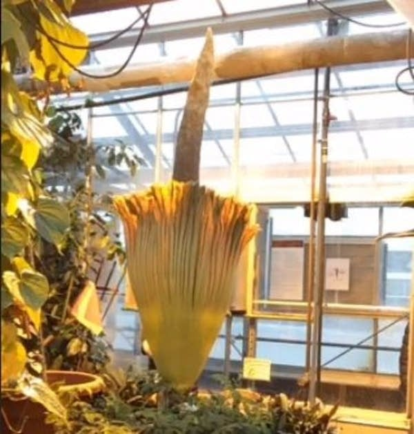 "The ""corpse flower"""