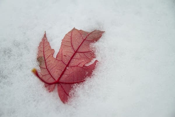 A maple leaf fallen on the snow.
