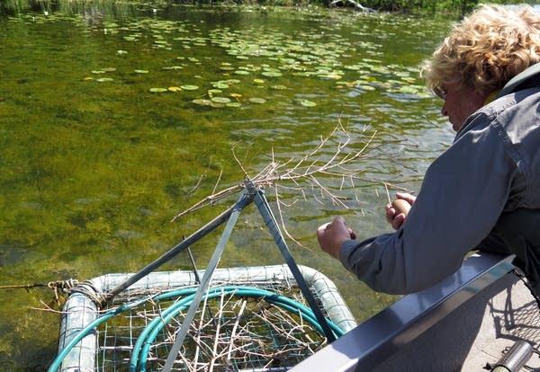 Kevin Woizeschke examines a nesting platform on West Fox Lake.