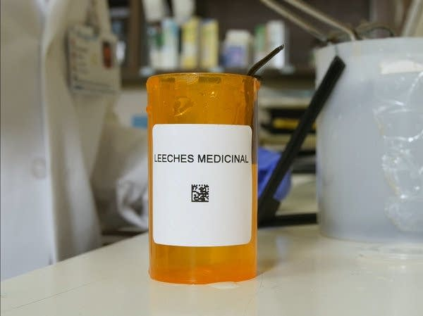 Leeches used in medical processes are put into pill bottles